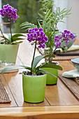 Phalaenopsis (Malayenblume, Schmetterlingsorchidee) und Chamaedorea