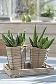 Aloe paradisicum 'Jurassic Dino'