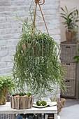 Holzschale als Ampel mit Rhipsalis cassutha (Rutenkaktus)