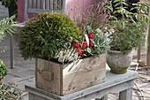 Winterhart bepflanzter Holzkasten mit Thuja 'Tim Tim' (Kugel - Lebensbaum)