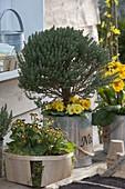 Thymian (Thymus vulgaris) unterpflanzt mit Primula acaulis (Primeln)