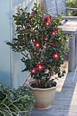 Camellia sasanqua 'Yuletide' (Kamelie)