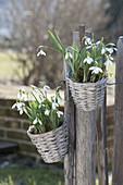 Kleine Körbchen mit Galanthus nivalis (Schneeglöckchen) an Zaun gehängt