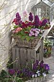 Körbe bepflanzt mit Hyacinthus 'Purple Sensation' (Hyazinthen)