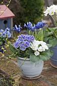Primula acaulis 'Dawn Ansell' weiß, blau mit weißem Rand (Primeln) und Iris