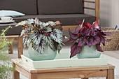 Begonia Rex 'Silver Queen' 'Indian Glow' (Koenigsbegonien, Blattbegonien)