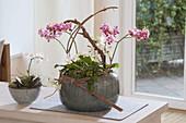 Phalaenopsis und Mini-Phalaenopsis (Schmetterlingsorchideen, Malayenblumen