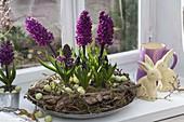 Hyacinthus 'Purple Sensation' (Hyazinthen) in Kranz aus Ästen, Rinde