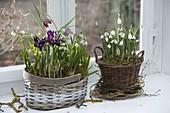 Körbe mit Galanthus nivalis (Schneeglöckchen), Iris reticulata