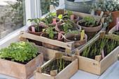 Gemüse-Jungpflanzen am Fenster ziehen