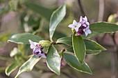 Daphne odora 'Aureomarginata' (Immergrüner Seidelbast)
