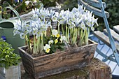 Iris reticulata 'Katherine Hodgkin' (Netziris) und Viola cornuta (Hornveilche