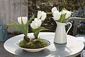 Tulipa 'Calgary' (weiße Tulpen) mit Moos in Suppenteller