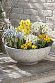 Schale mit Fruehlingsbluehern : Primula acaulis , elatior (Primeln), Iris