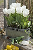 Tulipa 'Calgary' (weiße Tulpen) in Metall - Jardiniere