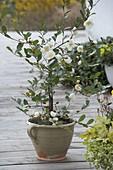 Magnolia dianica 'Summer Snowflake' syn. Michelia yunnanensis