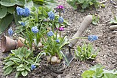 Muscari armeniacum (Traubenhyazinthen) auf Pflanzschaufel