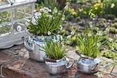 Bepflanzte alte Teekessel : Muscari botryoides 'Album' (Traubenhyazinthen)