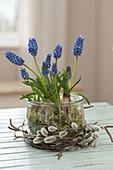 Muscari aucheri 'Blue Magic' (Traubenhyazinthen) mit Moos in Einmachglas