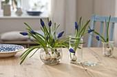 Muscari armeniacum 'Blue Pearl' (Traubenhyazinthen)