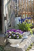 Muscari armeniacum 'Blue Pearl' (Traubenhyazinthen), Viola cornuta Callisto