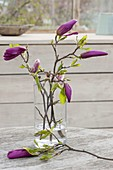 Zweige von Magnolia liliiflora 'Susan' (Purpur-Magnolie) in Glas-Vase