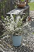 Laendlicher Strauss aus Zweigen von Prunus spinosa (Schlehen) und Rosa