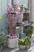 Cercis siliquastrum (Judasbaum) unterpflanzt mit Primula (Primeln)