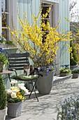 Blühende Forsythie auf der Terrasse