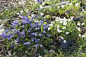 Viola odorata (Duft-Veilchen) im Beet, daneben Anemone nemorosa