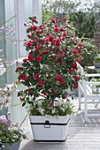 Camellia japonica 'Flame' (Kamelie) im weissen Holzkuebel, unterpflanzt