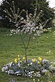 Sauerkirsche 'Schwäbische Weinweichsel' (Prunus cerasus) unterpflanzt