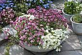 Schale mit Saxifraga arendsii Alpino 'White' 'Rose' (Moossteinbrech)