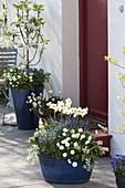 Blaue Kübel blau-weiss bepflanzt am Hauseingang