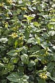 Lamium galeobdolon 'Florentinum' (Goldnessel) , immergruener Bodendecker