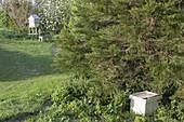 Bienen schwärmen im Frühling