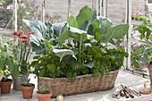 Korbkasten mit Kohlrabi (Brassica) und Petersilie (Petroselinum), Armeria