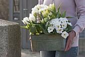 Frau trägt Blechkasten mit Primula acaulis (Primeln) und weissen Tulipa