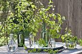 Maiengruen : Zweige von Betula (Birke) und Carpinus (Hainbuche