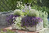Holzkasten mit Lobularia 'Princess in Purple' 'Primavera Princess' (Duftsteinri