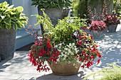 Schale mit Begonia boliviensis 'Red' (Haengebegonie), Lobularia 'Primavera