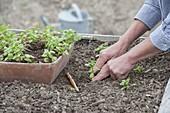 Jungpflanzen von Portulak (Portulaca sativa) ins Hochbeet pflanzen
