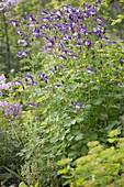 Aquilegia caerulea 'Blue Star' (Akelei)