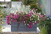 Blauer Holzkasten mit Nemesia 'Raspberry' (Elfenspiegel), Argyranthemum