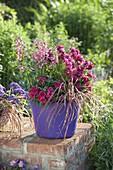 Violette Plastikwanne mit Nemesia 'Raspberry' (Elfenspiegel), Pennisetum