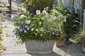 Alte Zinkwanne mit Viola cornuta (Hornveilchen) und Pelargonium