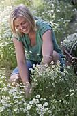 Frau schneidet Kamille (Matricaria chamomilla) zum trocknen für Tee