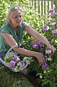 Frau schneidet Blüten von Rosa (Rosen), Korb mit Rosenblueten