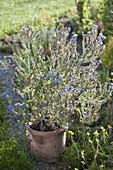 Anchusa azurea 'Loddon Royalist' (Ochsenzunge)