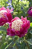 Paeonia lactiflora 'Tom Eckardt' (Edel-Pfingstrose)